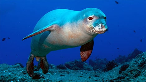 Sea caves birthing habitat for endangered Mediterannean Monk Seal